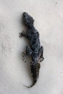 Gecko2.1